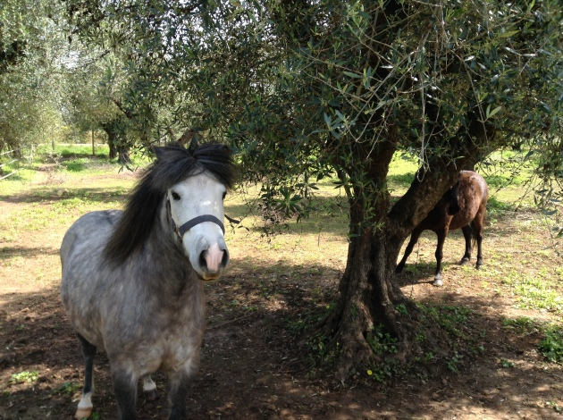 greek horse breed